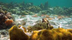 Bridled burrfish in a reef with starfish Stock Footage