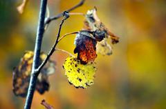 Autumn leaves of aspen tree Stock Photos