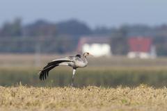 wildlife: Crane - stock photo