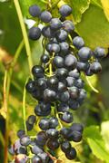 Stock Photo of cluster of dark grapes