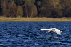 wildlife: Swan - stock photo