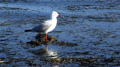Seagull on the Lookout - stock footage