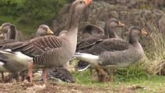 Icelandic greylag geese  closeup Stock Footage