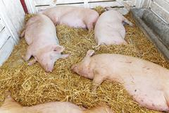 pigs pandemic - stock photo