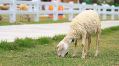 Sheep eating grass in farm Stock Footage