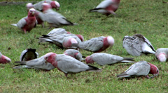 Flock of Galahs Feeding 1 - stock footage