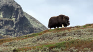 Stock Video Footage of wild musk ox