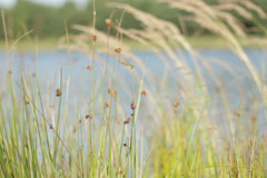 Dragonfly between reeds  NTSC Stock Footage