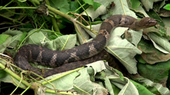 Checkered keelback snake at a pond (Asiatic water snake) - stock footage