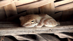 Big brown frog is sleeping under a canopy Stock Footage
