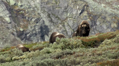 Wild musk ox Stock Footage
