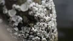 Close Up on Barnacles Stock Footage
