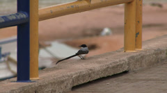 Fork tailed flycatcher Stock Footage