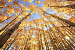 aspen trees with fall color, san juan national forest, colorado - stock photo