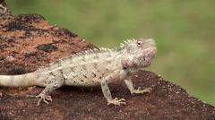 Oriental Garden Lizard Stock Footage