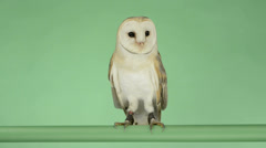 Barn owl perched and looking around, green key Stock Footage