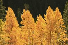 Aspen trees with fall color, san juan national forest, colorado Stock Photos