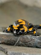 Stock Photo of salamander