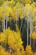Aspen trees with fall color, san juan national forest, colorado Stock Photos