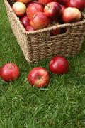 malus domestica discovery - stock photo