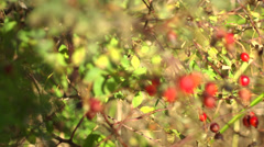 Red Rose Hips Stock Footage