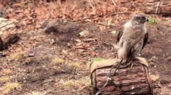 Accipiter gentilis, Shkotovo, Russia, safary park Stock Footage