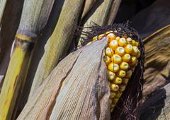 Yellow Field Corn with Husk Stock Photos