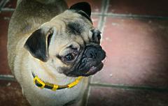 Friendly cute puppy dog pedigree - stock photo