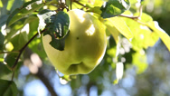 Stock Video Footage of Human hand plucks ripe apple in a garden