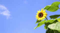 sunflower in front of an blue sky with clouds - stock footage