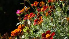 Beautiful marigold in a summer garden Stock Footage