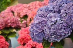 blue hydrangea bodensee blossing in keukenhof park in holland - stock photo