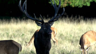 Stock Video Footage of red deer rutting season