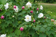 Confederate rose flower ( hibiscus mutabilis) Stock Photos