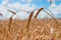 spikes of wheat closeup - stock photo