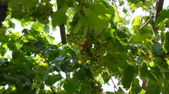 Cluster of wine grapes Stock Footage