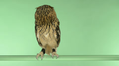 Stock Video Footage of indian eagle owl perched and looking around, green key