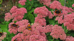 British garden Red Admiral, Painted Lady butterflies on a sedum bush time lapse. Stock Footage