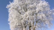 Stock Video Footage of Frozen deciduous tree covered with hoarfrost against a blue sky - tilt up