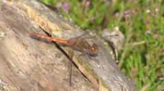 Dragonfly, common darter resting on log in sunshine Stock Footage