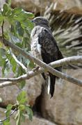 bird of prey falcon - stock photo