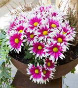 Pink chrysanthemums in a pot - stock photo