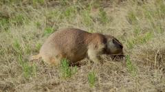 Prairie Dog Stock Footage