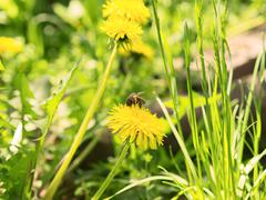 bee on the flower dandelion - stock photo