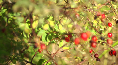Wild Rose Hips Stock Footage