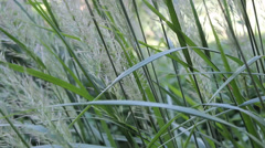 Maiden hair grass Stock Footage