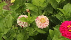 Zinnia blossoms Stock Footage