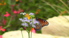 Viceroy Butterflys I Stock Footage