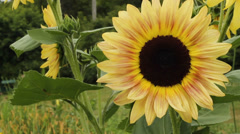 Giant sunflower Stock Footage
