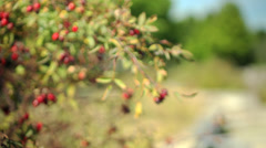 Wild Rose Bush and Hips Stock Footage